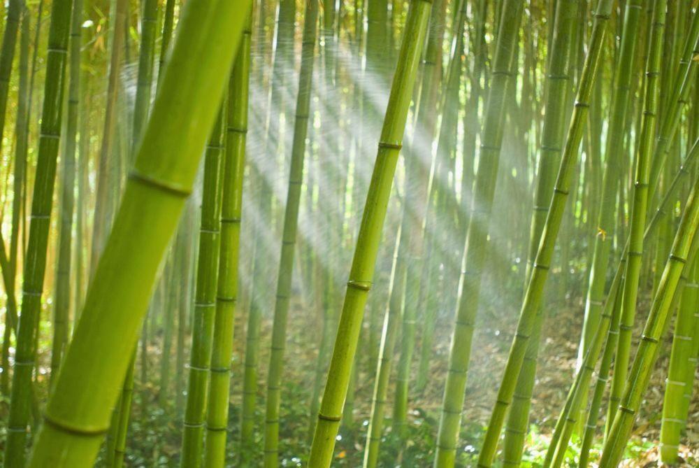 одна самых картинка с бамбуком пользу этих бобов